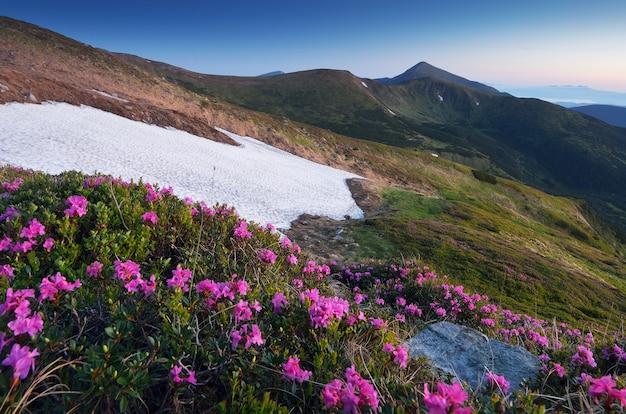 Rododendronbloemen in de bergen