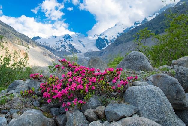 Rododendrons in de hoge bergen onder een alpengletsjer