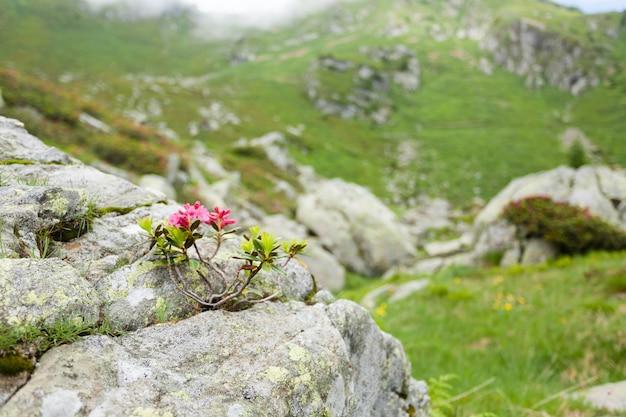 Rododendronstruik in bloei op rots. natuur close-up. berglandschap Premium Foto