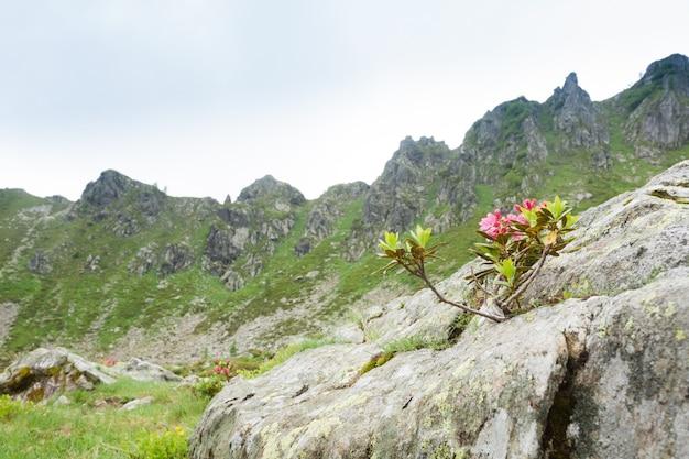 Rododendronstruik in bloei op rots. natuur close-up. berglandschap