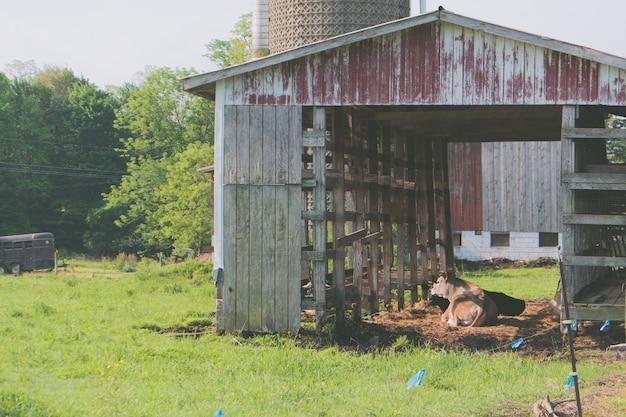 Roestige oude houten schuur met een koe die binnen bij een landbouwbedrijf met rond gras legt