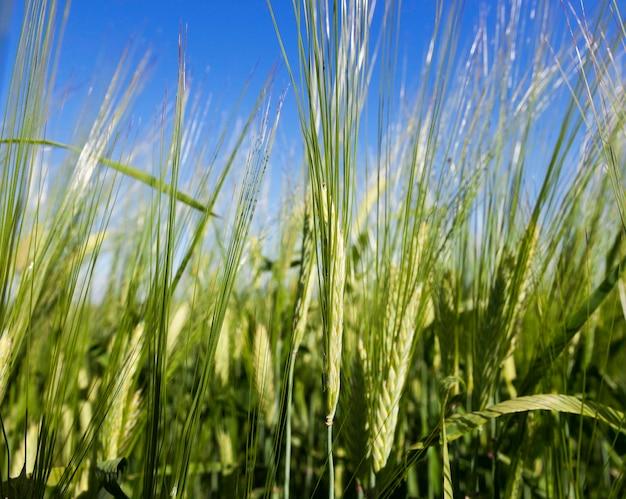 Rogge groeit op landbouwgebied