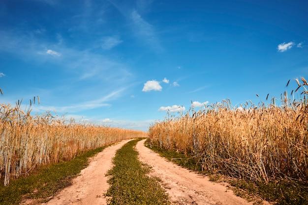 Rogge veld in zomerdag met landweg