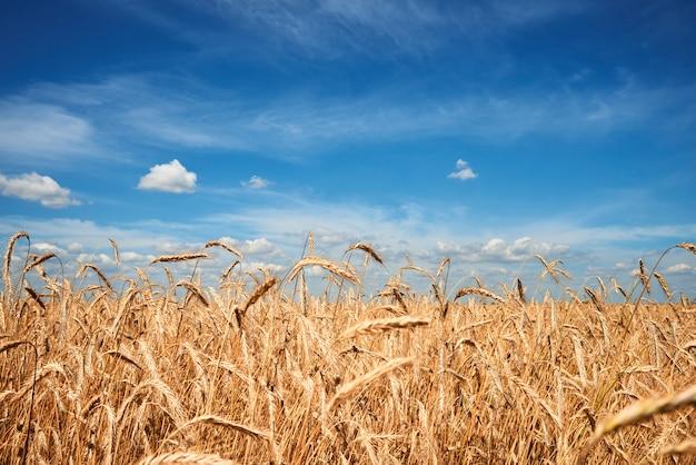Rogge veld onder de blauwe hemel