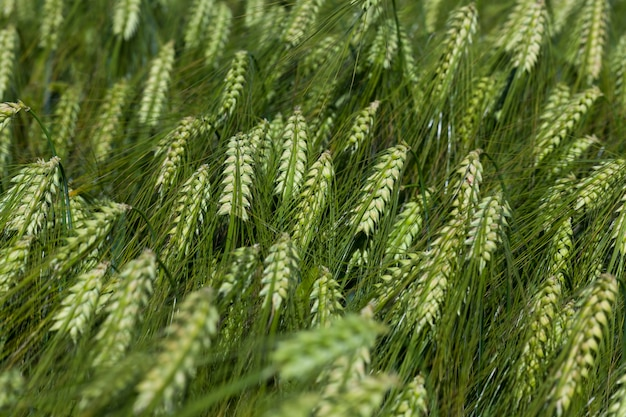 Roggeveld met groene onrijpe roggeaartjes, zomerroggeplanten in een landbouwgebied in
