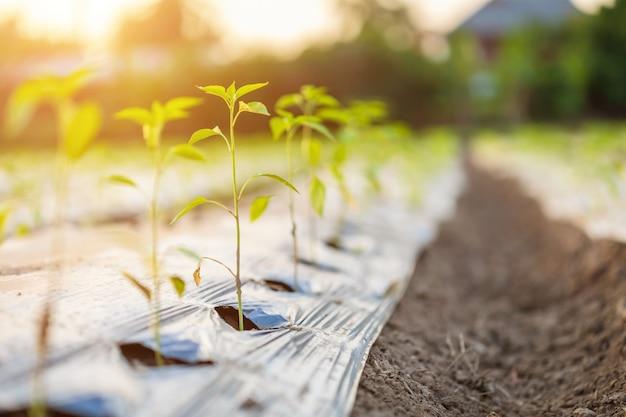 Rol van jonge groene hete chili-planten met lang plastic