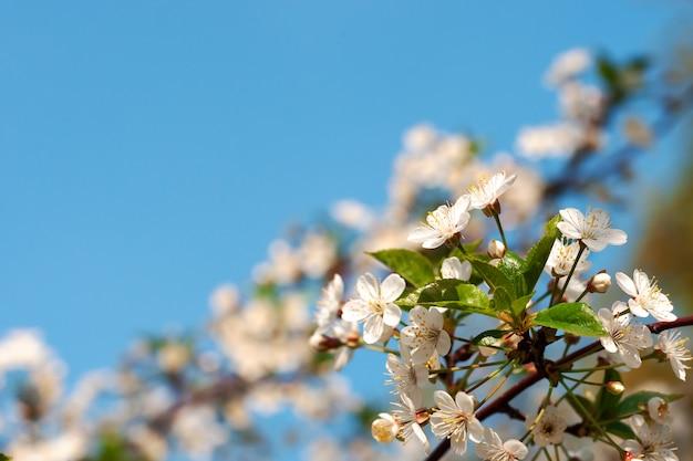 Romantische kersentak met bloemen in bloesem bij duidelijke blauwe hemelachtergrond.