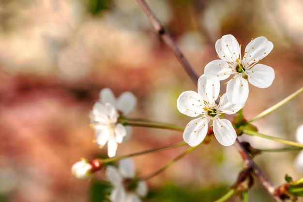 Romantische kersentak met bloemen in bloesem.