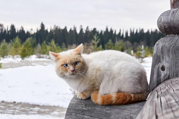 Romige kat met blauwe ogen die buiten zit op de hoek van een blokhut van een dorp op de achtergrond van een winterlandschap