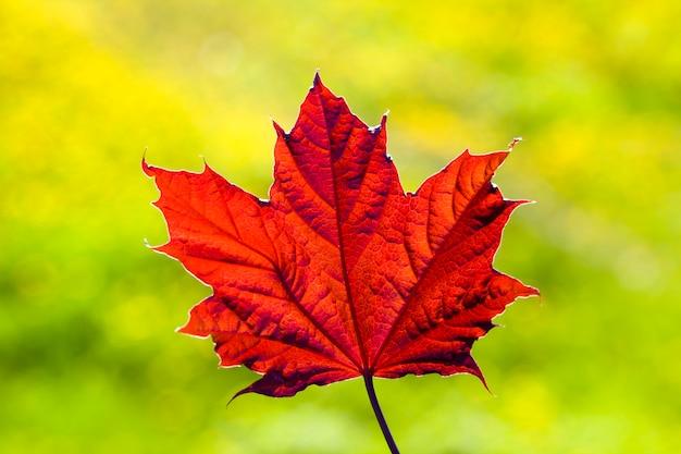 Rood blad van esdoorn in de natuur