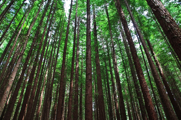 Rood bos in rotorua, nieuw zeeland
