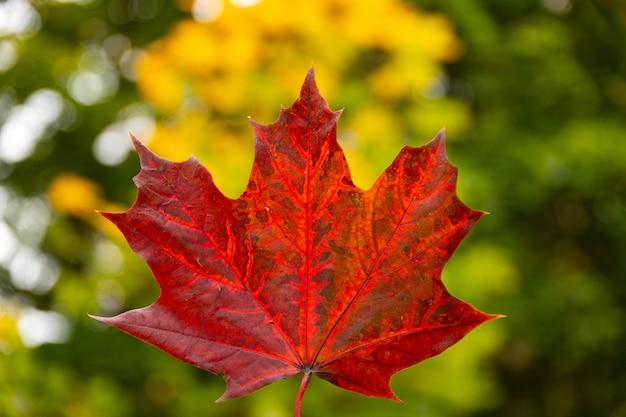 Rood de herfstesdoornblad ter beschikking op achtergrond van bomen