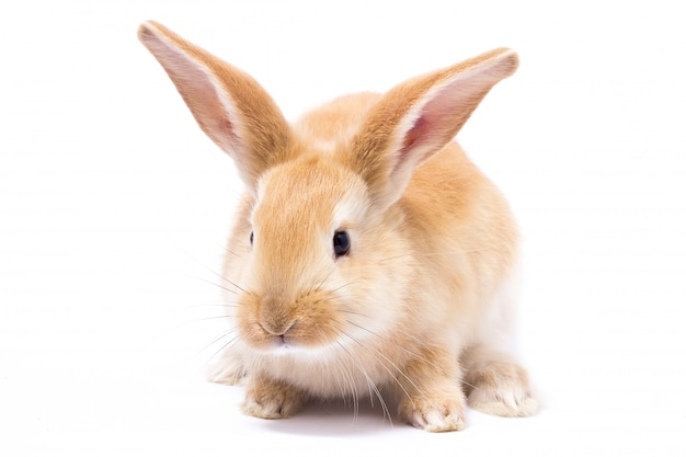 Rood donzig konijn