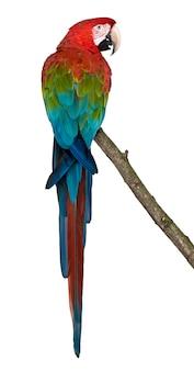 Rood-en-groene ara die op tak neerstrijken
