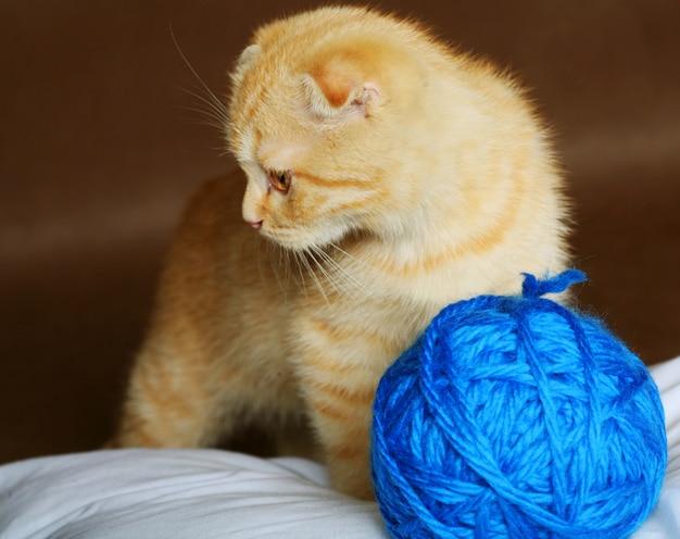 Rood engeland katje met hangende oren