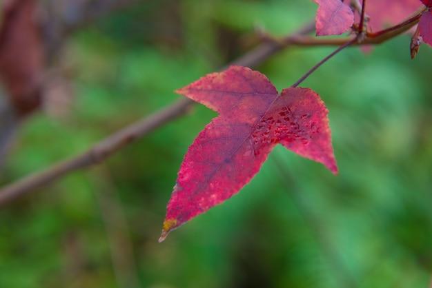 Rood esdoornblad in de natuur op het grote bos