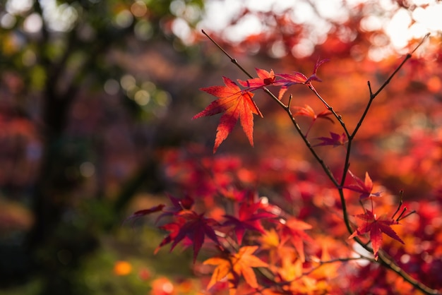 Rood esdoornblad met de achtergrond van de gebladertezonsondergang bokeh