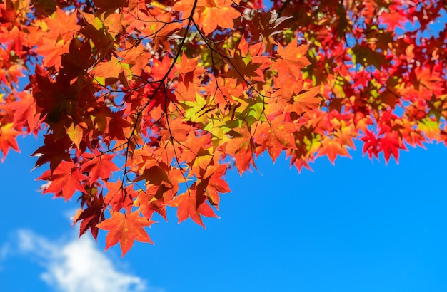 Rood esdoornblad op blauwe hemel, aardblad