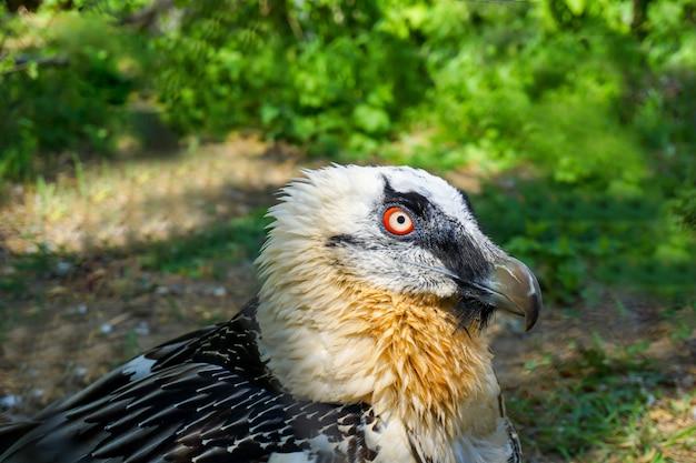 Rood-eyed gebaarde gierroofvogel in dierentuin in rusland