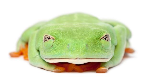 Rood-eyed treefrog agalychnis callidryas met gesloten ogen voor witte achtergrond