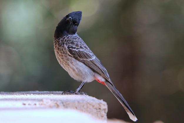 Rood-geventileerde bulbul vogel neergestreken op een stenen muur