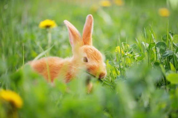 Rood konijntje in gras