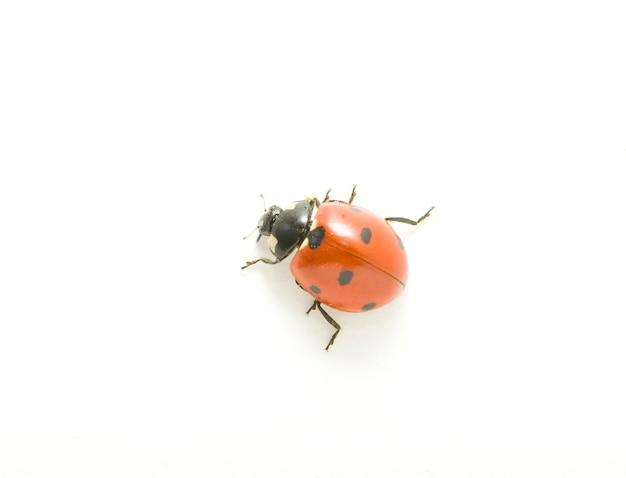 Rood lieveheersbeestje dat op wit wordt geïsoleerd