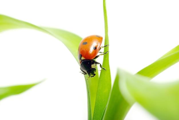 Rood lieveheersbeestje op groen geïsoleerd gras