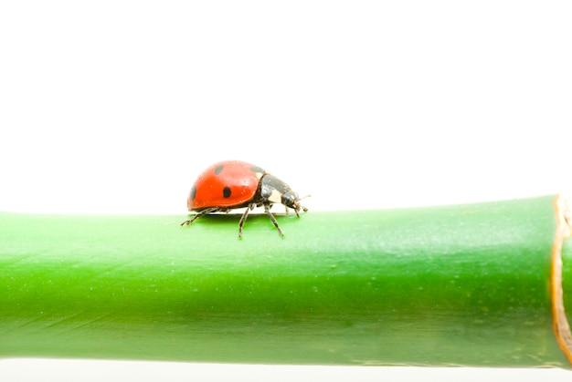 Rood lieveheersbeestje op groen gras dat op wit wordt geïsoleerd