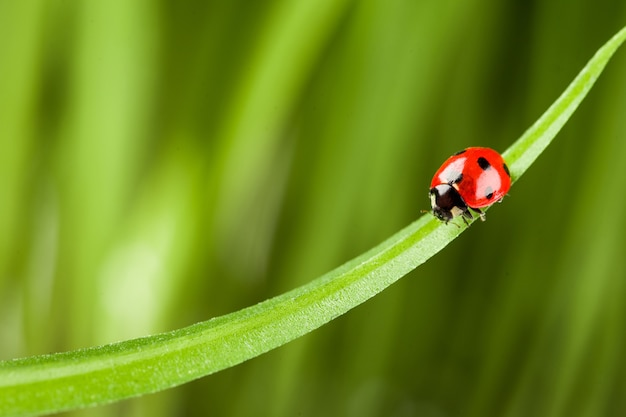 Rood lieveheersbeestje op groen gras.