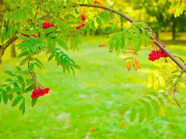 Rood lijsterbesclose-up. de takken met trillende rode en oranje rijpe lijsterbes sluiten omhoog. rijke oogst van lijsterbes. takken met felrode en oranje rijpe lijsterbes.