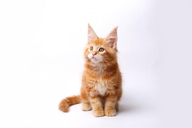 Rood maine coon-geïsoleerd katje
