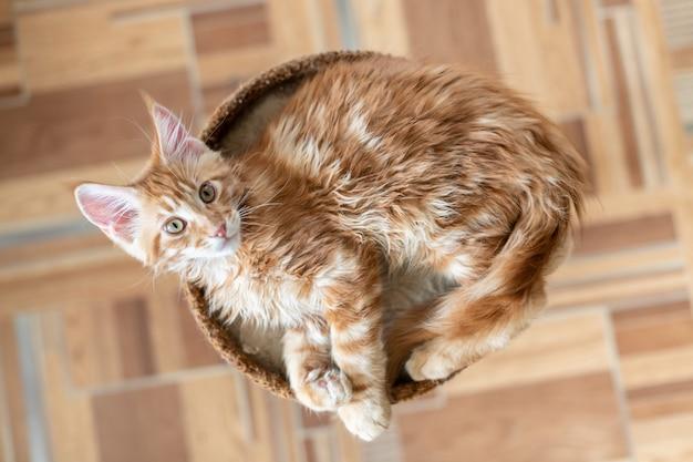 Rood maine coon-katje. leuk, grootste en mooi kattenras. witte achtergrond