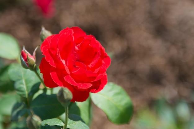 Rood nam bloem in tuin toe