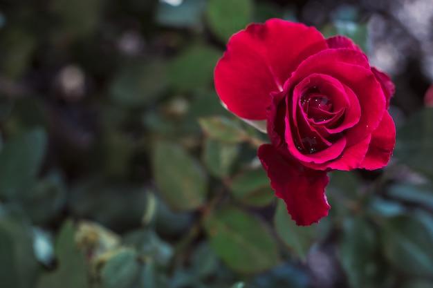 Rood nam het symbool van liefde en valentijn toe