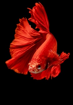 Rood ontslagen siamese kempvissen