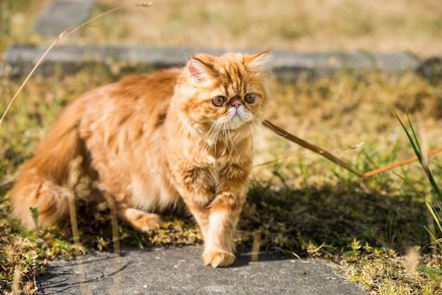 Rood perzisch kattenportret met een riem die in de tuin loopt