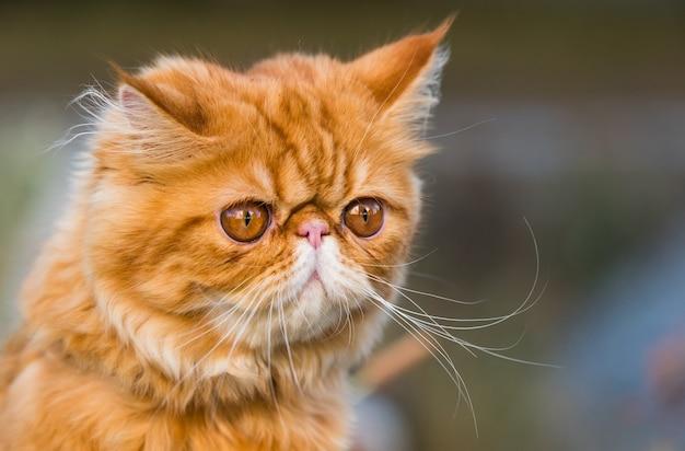 Rood perzisch kattenportret met grote oranje ronde ogen