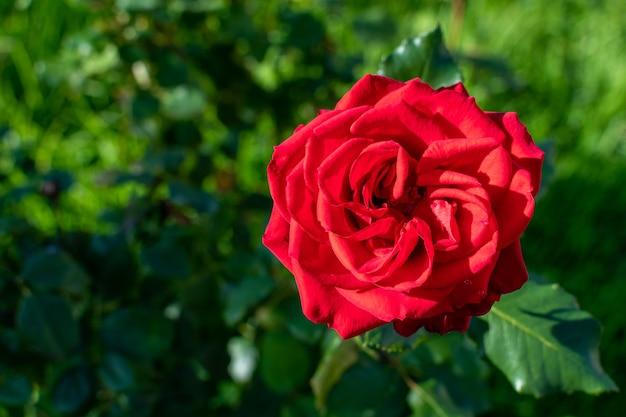 Rood roze bloem op onscherpe achtergrond in de tuin.