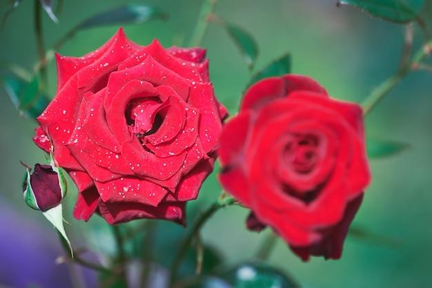 Rood roze bloemen in de tuin. mooie bloemenstruik, mooi cadeau voor vrouw. decoratieve rozenstruik