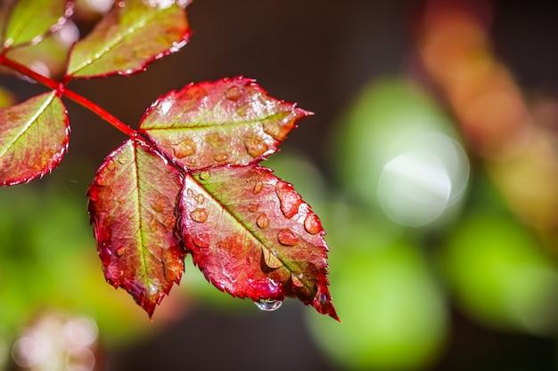 Rood rozenblad met regendruppels na regen in de herfsttuin. bokeh met lichtreflectie