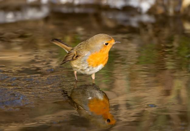 Roodborst staat in een bevroren beek en zoekt naar voedsel terwijl hij naar zijn eigen spiegelbeeld in het water kijkt