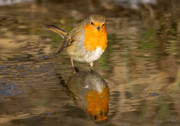 Roodborst staat in een bevroren kreek en zoekt naar voedsel terwijl hij naar zijn eigen spiegelbeeld in het water kijkt. close-up bekijken