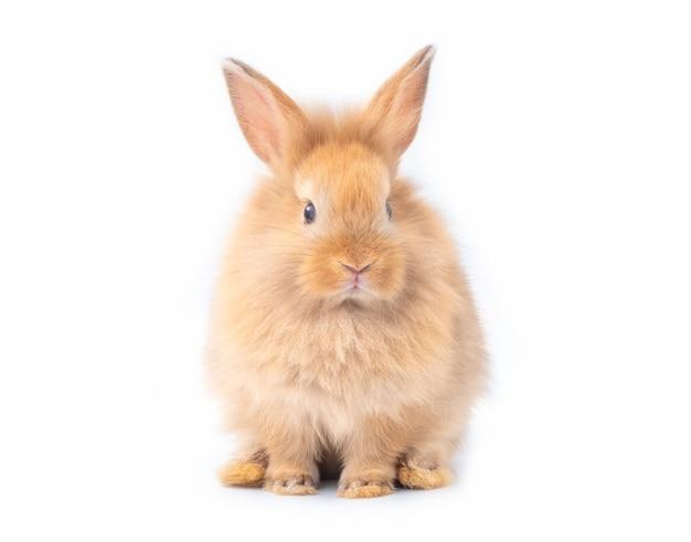 Roodbruin jong konijn dat op witte achtergrond wordt geïsoleerd.