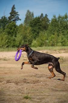 Roodbruine dobermanhond met trekker die vooraan op het meerstrand loopt