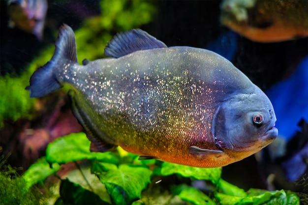 Roodbuikpiranha rode piranha