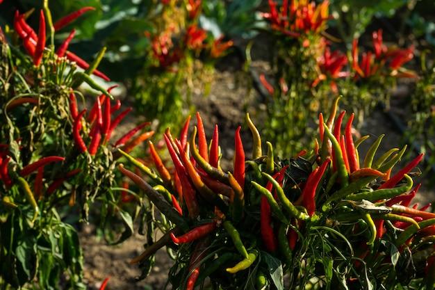 Roodgloeiende spaanse peperspeper op een landbouwbedrijf