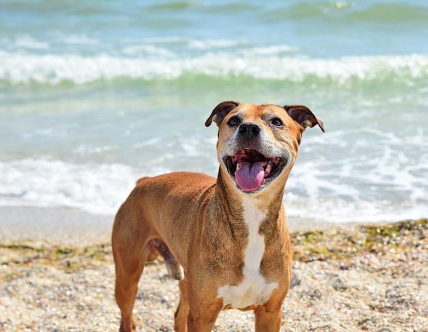 Roodharige amerikaanse kuilbull terrier