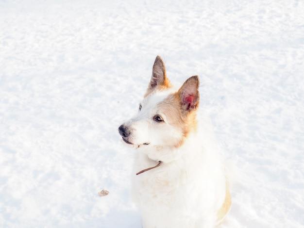 Roodharige dakloze hond, straathond, vriendelijk en trouw