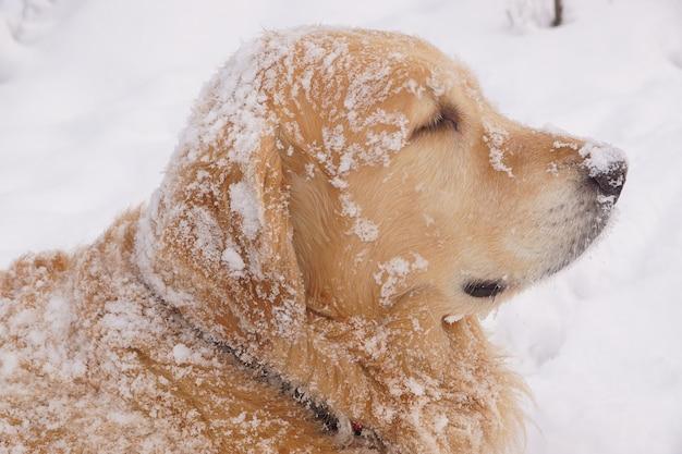 Roodharige hondenrassen golden retriever kijkt weg, allemaal bedekt met sneeuw.